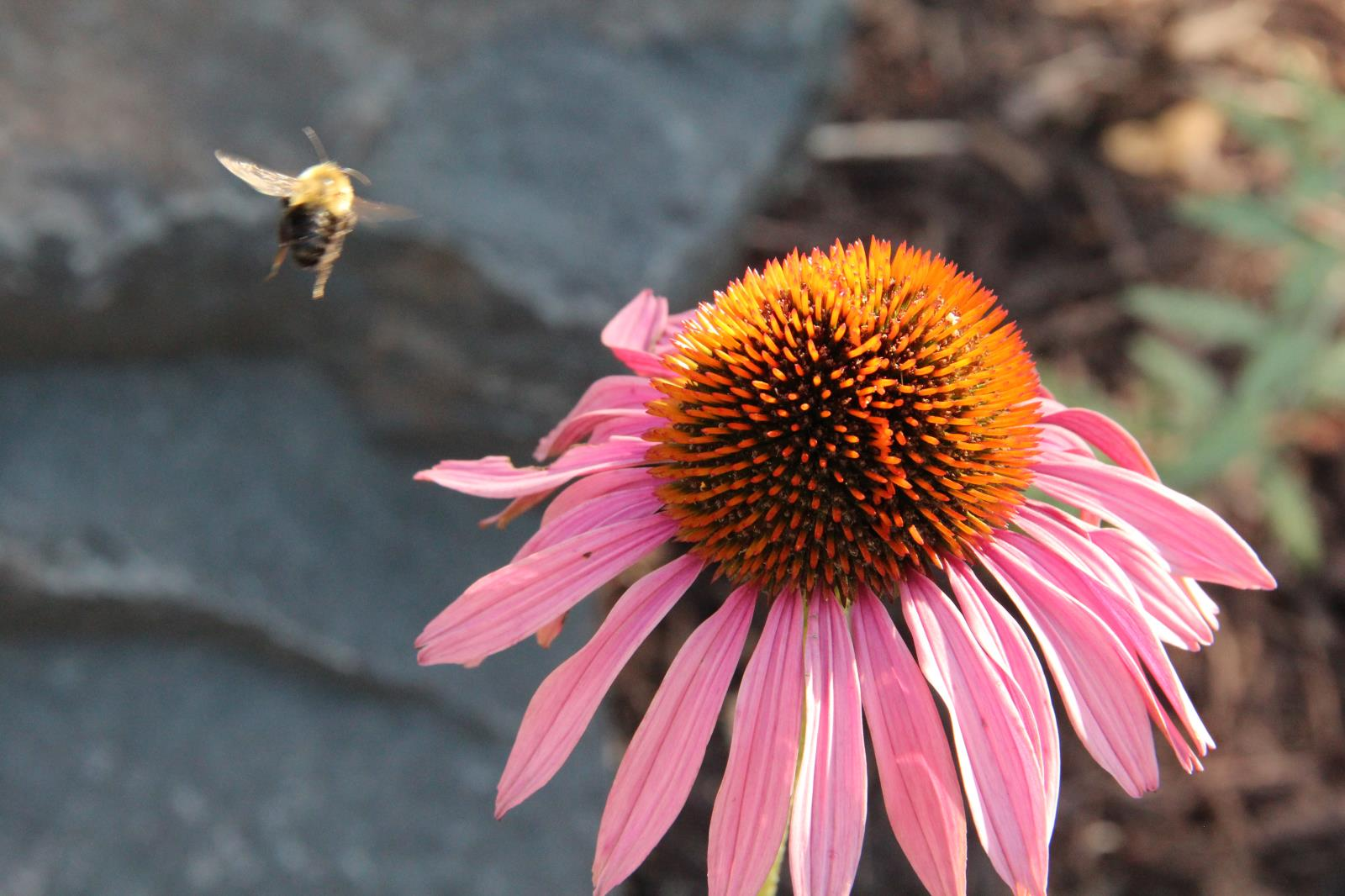 Purple Cone Flower and bee3